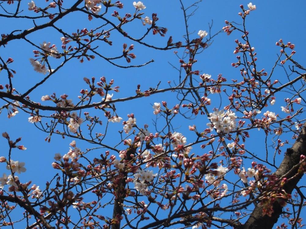 桶狭間古戦場の桜